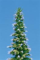 植物(Echium pininana)