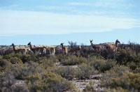 草原にいる野生動物の群れ ラマ アルゼンチン