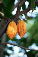 木になる実(カカオノキ) 02296001176| 写真素材・ストックフォト・画像・イラスト素材|アマナイメージズ