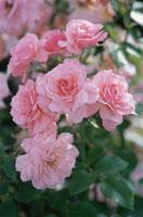 ピンク色の花(セクシーレキシー・バラ科)