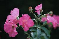 ピンク色の花(プレイガール・バラ科)