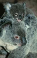 コアラの親子  オーストラリア 02296001268  写真素材・ストックフォト・画像・イラスト素材 アマナイメージズ