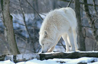 雪原のタイリクオオカミ   チャーチル カナダ