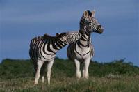 2頭のサバンナシマウマ 南アフリカ 02296001271| 写真素材・ストックフォト・画像・イラスト素材|アマナイメージズ