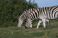草を食べる2頭のサバンナシマウマ 南アフリカ 02296001272| 写真素材・ストックフォト・画像・イラスト素材|アマナイメージズ