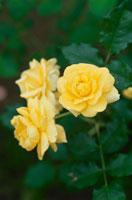 黄色いバラ(ゴールドバニー)