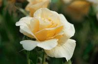 バラの花(バイアポイントメント)