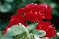 赤いバラの花(リリーマルリーン)