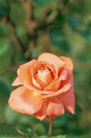 バラの花(ローラ)