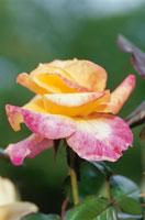バラの花(デザートピース)
