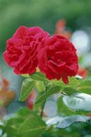 赤いバラの花びら(ウルメールムンスター)
