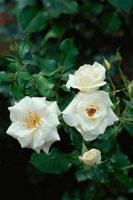 白いバラ(ホワイトマジック)
