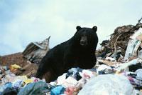 廃棄物に囲まれたアメリカグマ アメリカ