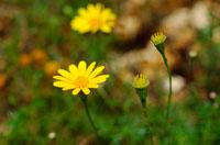 花(イトバハルシャギク) 02296001315| 写真素材・ストックフォト・画像・イラスト素材|アマナイメージズ
