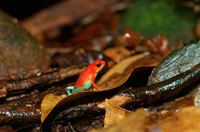 Red-and-blue Poison-arrow Frog