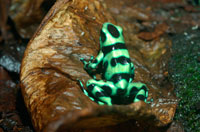 Turquoise Poison-dart Frog