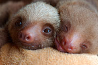Hoffmann s Two-toed Sloth
