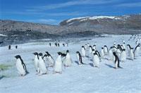 夏の氷山とアデリーペンギンの群れ 南極