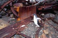 アデリーペンギンと廃棄物 南極