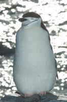 チンストラップペンギン