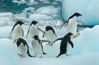 アデリーペンギンの群れ