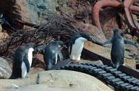 廃棄物の上を歩くアデリーペンギン