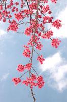 桜 02296001588| 写真素材・ストックフォト・画像・イラスト素材|アマナイメージズ
