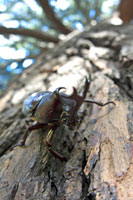 木にとまっているカブトムシのオス 02296001757| 写真素材・ストックフォト・画像・イラスト素材|アマナイメージズ