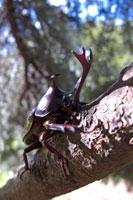 木にとまっているカブトムシのオス 02296001758| 写真素材・ストックフォト・画像・イラスト素材|アマナイメージズ