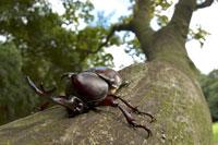 木にとまっているカブトムシのオス
