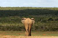 アフリカゾウ 02296001818| 写真素材・ストックフォト・画像・イラスト素材|アマナイメージズ