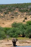 アフリカゾウ 02296001819A| 写真素材・ストックフォト・画像・イラスト素材|アマナイメージズ