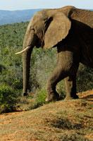 アフリカゾウ 02296001822| 写真素材・ストックフォト・画像・イラスト素材|アマナイメージズ
