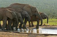 アフリカゾウの群れ 02296001823A| 写真素材・ストックフォト・画像・イラスト素材|アマナイメージズ