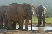 アフリカゾウの群れ 02296001824| 写真素材・ストックフォト・画像・イラスト素材|アマナイメージズ