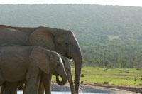アフリカゾウの群れ 02296001825| 写真素材・ストックフォト・画像・イラスト素材|アマナイメージズ