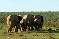 アフリカゾウの群れ 02296001827| 写真素材・ストックフォト・画像・イラスト素材|アマナイメージズ