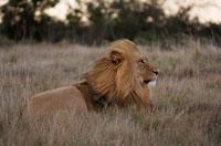 ライオン 02296001872  写真素材・ストックフォト・画像・イラスト素材 アマナイメージズ