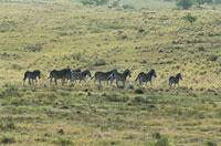 サバンナシマウマの群れ 02296001878  写真素材・ストックフォト・画像・イラスト素材 アマナイメージズ