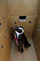 段ボールに入るペンギン