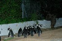 道を歩くアフリカンペンギン