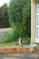 住宅の玄関前に立つアフリカンペンギン