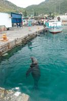 漁港に流れついたミナミアフリカオットセイ