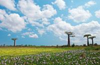 バオバブ 02296002038| 写真素材・ストックフォト・画像・イラスト素材|アマナイメージズ