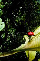 クビナガオトシブミの仲間(オス) 02296002147| 写真素材・ストックフォト・画像・イラスト素材|アマナイメージズ