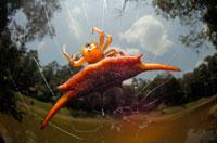 ソーンスパイダー(クモ) 02296002150| 写真素材・ストックフォト・画像・イラスト素材|アマナイメージズ