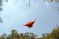 ソーンスパイダー(クモ) 02296002151| 写真素材・ストックフォト・画像・イラスト素材|アマナイメージズ