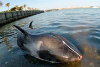 カズハゴンドウイルカの大量死