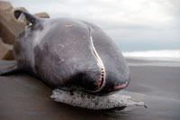 カズハゴンドウイルカの大量死 02296002161| 写真素材・ストックフォト・画像・イラスト素材|アマナイメージズ