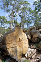 森林伐採 02296002167| 写真素材・ストックフォト・画像・イラスト素材|アマナイメージズ